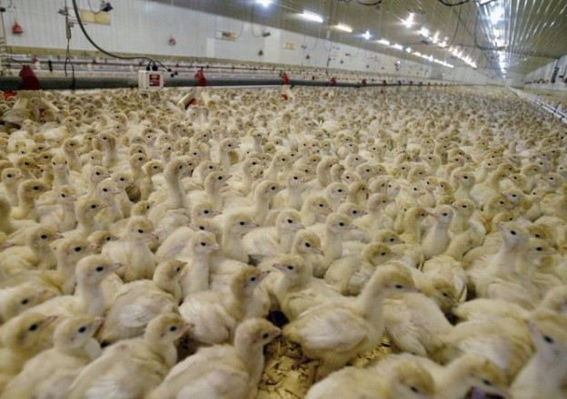 Chicks in a factory